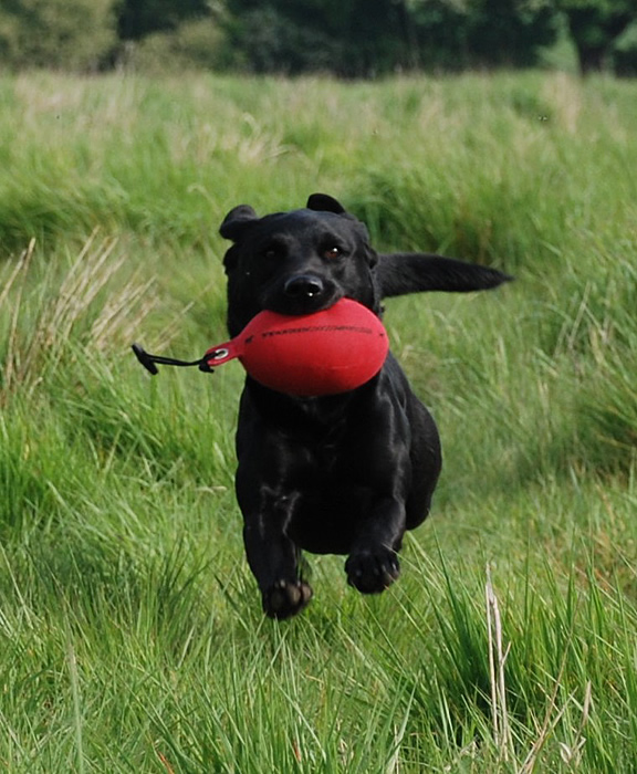 Gun Dog Retrieve Training