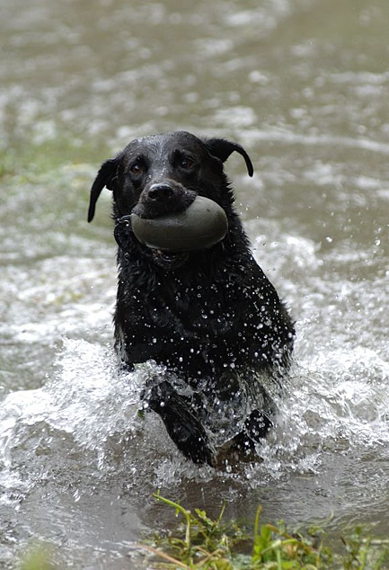Water Training with Dummies from Working Dog Company